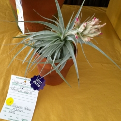 Tillandsia Blue
