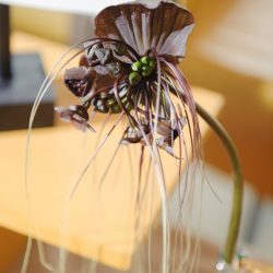 C. Black Bat Plant / Award of Merit - Sudie Minamyer