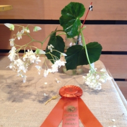 A. Begonia / Award of Merit - Arlette Bradley